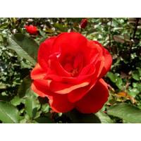 Роза Моден Файрглоу (канадская)