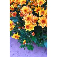 Хризантема ЛАМИА (Мультифлора/Желто-коричневая)