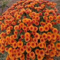Хризантема Наваре (Мультифлора/Оранжевая)