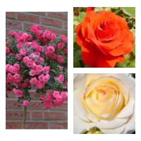 Комплект Р5-3 саженца (Штамбовые розы Книрпс, Ремембрэнс, Шопен)
