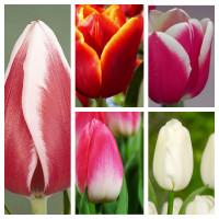 Комплект из 25 луковиц тюльпанов (Furand, Snowboard, Гуус Папендрехт, Династия, Лаура Фиджи)