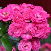 Комплект 3 саженца Роза Динки (штамбовая)