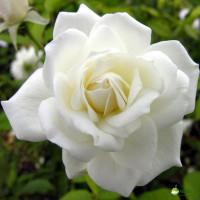 Роза Боинг (ШРАБ) (шраб)