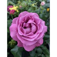 Роза Хаирлум (шраб)