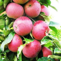 Яблоня колоновидная красноцветковая Гранатовый Браслет