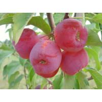 Яблоня колоновидная красноцветковая Розовая Сказка