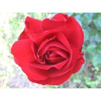Роза Лили Марлен (флорибунда)