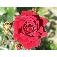 Роза Бранденбург(чайно-гибридная)