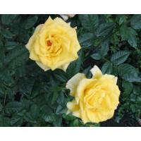 Роза Мабелла(чайно-гибридная)