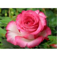 Роза Хайлендер(чайно-гибридная)