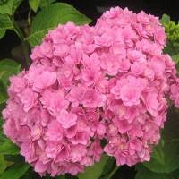 Гортензия Romance Pink (крупнолистная)