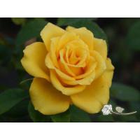 Роза Yellow Sun(чайно-гибридная)