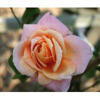 Роза Скугёрл (плетистая)