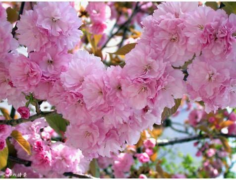 Сакура (Вишня декоративная) Ошидори