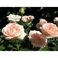 Роза Осиана(чайно-гибридная)