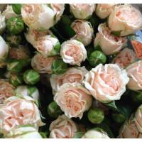 Роза Romantic Pepita (Романтик Пепита) (спрей)
