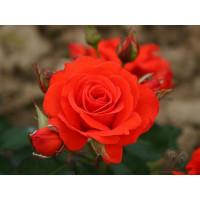 Роза Корас (флорибунда)