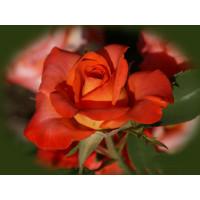 Роза Наранга(чайно-гибридная)