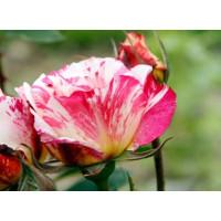 Роза Зебулон (миниатюрные)