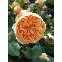 Роза Краун Принцесс Маргарет (английские)