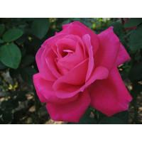Роза Экскалибур(чайно-гибридная)