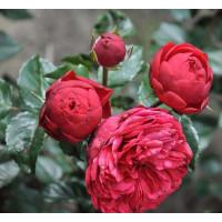 Роза Фортепиано (парковая)