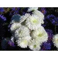 Хризантема Школьница крупноцветковая