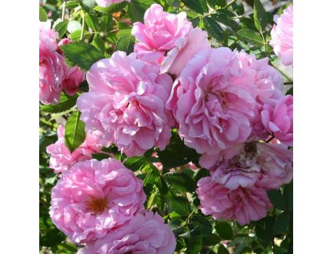 Роза канадская John Davis (Джон Девис)