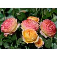 Роза Розоман Жанон (шраб)